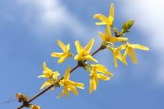 Yellow forsythia Royalty Free Stock Images