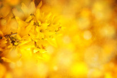 Yellow forsythia background Stock Photos