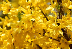 Yellow forsythia branch blossom. Forsythia is a beloved gardenflower / bush in middle-europe, blooming on spring Stock Photo