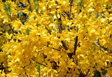 Yellow forsythia branch blossom. Forsythia is a beloved gardenflower / bush in middle-europe, blooming on spring Stock Photography