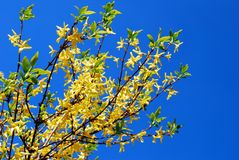Yellow forsythia bush in front of blue sky. Vilnius stock images