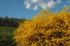 Yellow forsythia bush, green grass and blue cloudy sky. Yellow bush of blossoming forsythia vahl with green grass and trees, and blue cloudy sky background Royalty Free Stock Photography