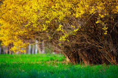 Yellow Forsythia bush and green grassland in spring season Stock Photography