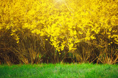Yellow Forsythia bush and green grassland in spring season Royalty Free Stock Image