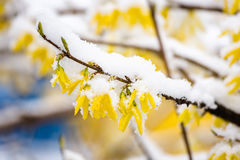Yellow forsythia covered by snow. Yellow forsythia blossom in spring covered by snow Royalty Free Stock Photo