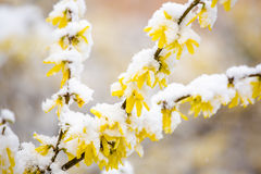 Yellow forsythia covered by snow. Yellow forsythia blossom in spring covered by snow Stock Photo