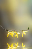 Yellow Forsythia Flowering Branch over Water Royalty Free Stock Images