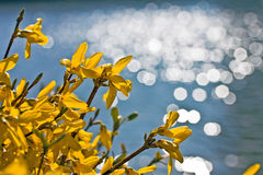 Yellow forsythia flowers Royalty Free Stock Photos