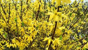 Yellow Forsythia Flowers Blooming On Springtime stock footage