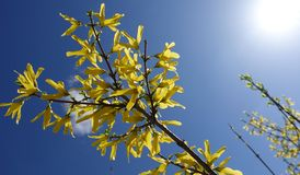 Yellow Forsythia flowers on a bush against the blue sky on a sunny day. Yellow and blue colors.  royalty free stock photos