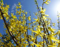 Yellow Forsythia flowers on a bush against the blue sky on a sunny day. Yellow and blue colors.  royalty free stock photo