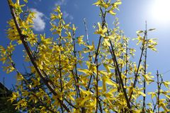 Yellow Forsythia flowers on a bush against the blue sky on a sunny day. Yellow and blue colors.  stock photo