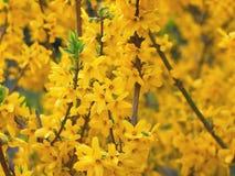Yellow Forsythia Flowers Stock Image