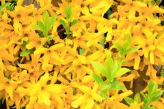 Yellow forsythia flowers in spring as background Royalty Free Stock Photography