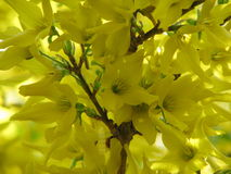 Yellow forsythia. In the garden Royalty Free Stock Photography