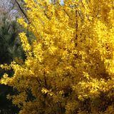 Yellow forsythia with white pine background stock images