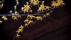 Yellow forsythias flowers on a wooden background stock footage