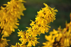 Yellow forsytia flowers Royalty Free Stock Image