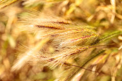 Yellow fountain grass called Pennisetum alopecuroides Stock Photography