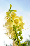 Yellow Foxgloves Stock Images
