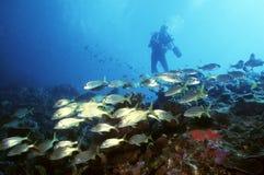 yellow för dykaresnappersvan Arkivbilder