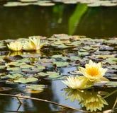 yellow för liljalotusblommavatten Fotografering för Bildbyråer
