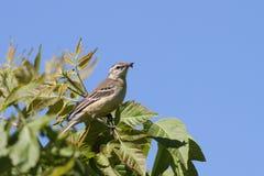 yellow för vildmark för wagtail för områdesnaturryss Fotografering för Bildbyråer