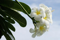 Yellow Frangipani flower Stock Images