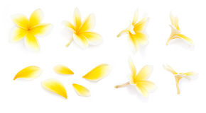 Yellow frangipani flower set with Petals on white background from different angles. Useful for design of wedding invitation or rom. Antic style gift card stock photo