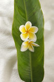 Yellow frangipani Stock Photo
