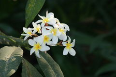 Yellow Frangipani flowers on a tree Stock Photos