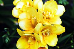 Yellow Freesia. S with some greenery Stock Photo