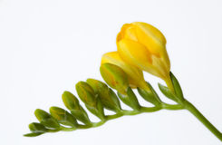 Yellow freesia. On white background Royalty Free Stock Photo