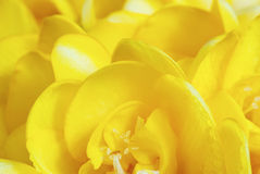 Yellow freesia Stock Photos