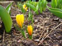 Yellow freesia flower Stock Photo