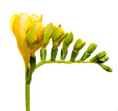 Yellow freesia flower, close up, white background, isolated Stock Photography