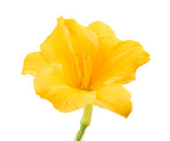 Yellow freesia flower Royalty Free Stock Photography