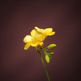 Yellow freesia flowers, close up, red gradient background Stock Photography