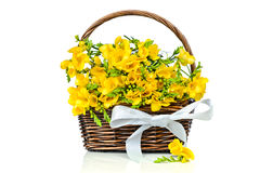 Yellow freesia flowers in the wicker Stock Photography