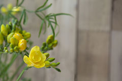 Yellow freesia flowers on wooden background Royalty Free Stock Images