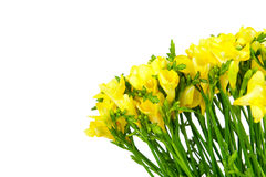 Yellow freesia Stock Photo