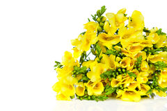 Yellow freesia Royalty Free Stock Image