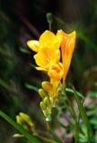 Yellow freesia  in nice blurry green background, natural freesia, maltese flower, maltese flora, Malta flora Royalty Free Stock Photography