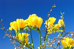 Yellow freesia and sprigs of cherry-plum royalty free stock images