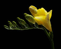 Yellow freesia with water drops. On black background Stock Images