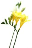 Yellow Freesia on White. Delicate yellow freesia isolated on white background Royalty Free Stock Image
