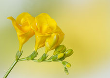 Yellow freesia on yellow and green Stock Photo