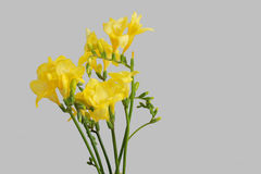 Yellow freesias Stock Photos
