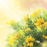Yellow freesias bunch  in sunshine with bokeh,border Stock Photography