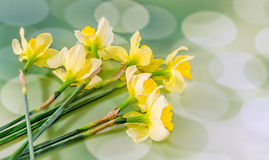 Yellow freesias flowers, close up, green bokeh background, isolated Stock Images